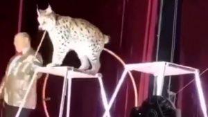Lince de circo se abalanzó sobre su adiestrador y causó pánico entre los presentes