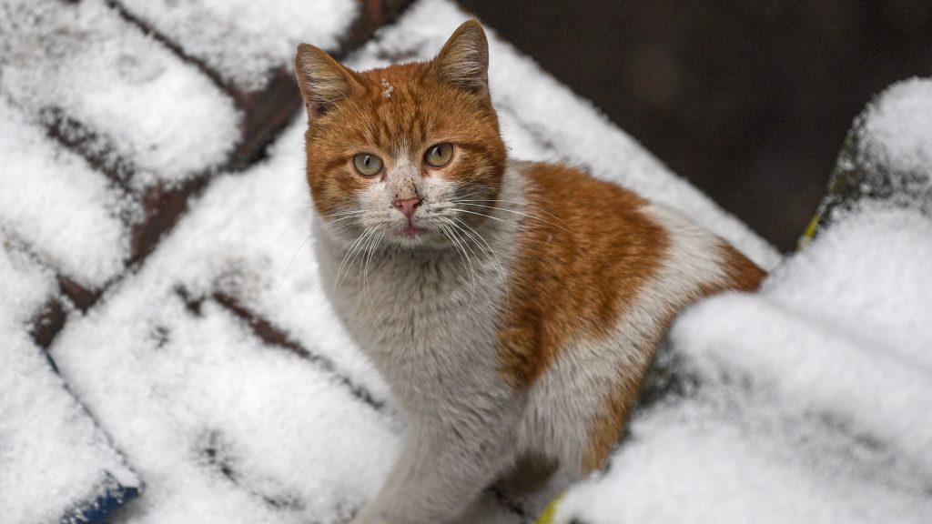 Científicos aseguraron descubrir antídoto contra alergia a los gatos