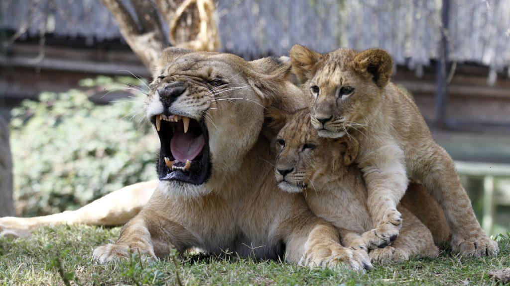 Reality zoo: webserie mostrará cómo viven la cuarentena los animales del Buin Zoo