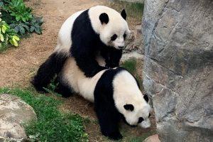 Tras una década pandas del zoológico de Hong Kong se aparearon de forma natural