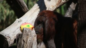 Animales del Buin Zoo recibieron sus huevos de Pascua en Semana Santa