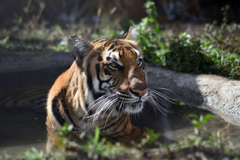 Un espécimen de tigre en cautiverio