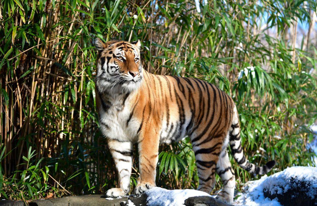 Un tigre de un zoológico de Nueva York se contagió de coronavirus