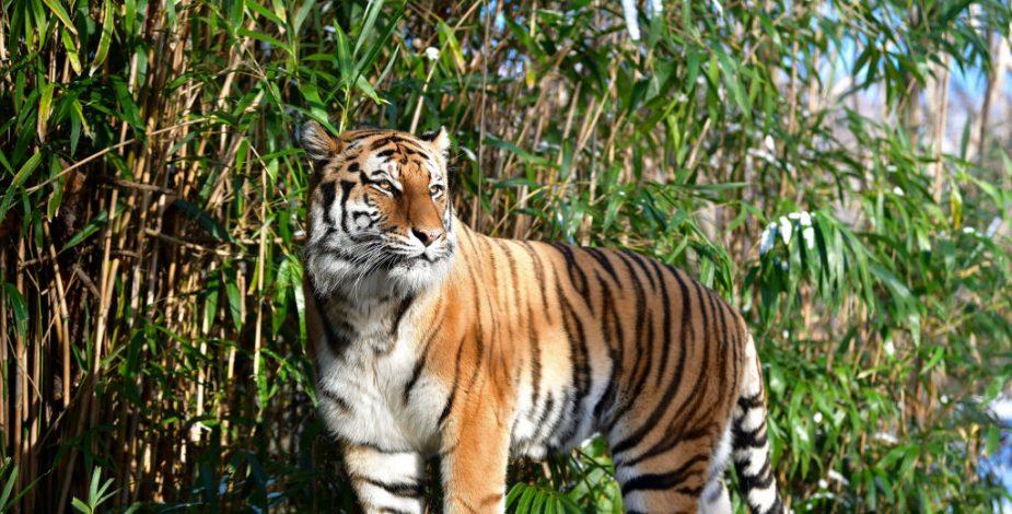 Un tigre da positivo por coronavirus en el zoológico de Nueva York