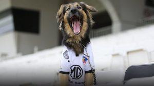Fue adoptado y se convirtió en una figura emblemática: Falleció Capitán, la mascota oficial de Colo Colo