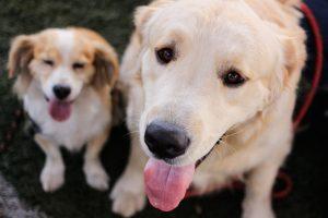 """""""Delivery"""" de perros: Municipalidad de Ñuñoa intensificó campaña de adopción de mascotas"""