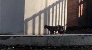 Reportan nuevo avistamiento de puma en la comuna de Lo Barnechea