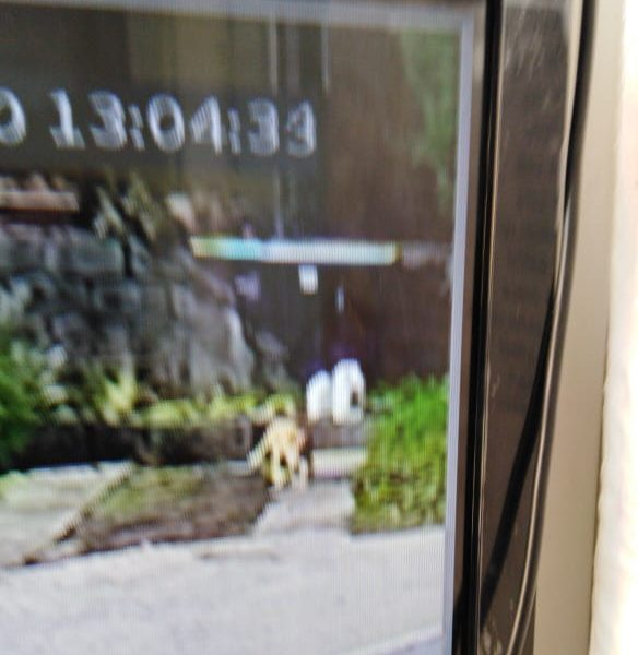 Puma en La Florida