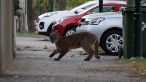 Vecinos reportaron nuevo avistamiento de un puma en Huechuraba