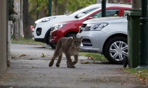 Se triplicó la cantidad de pumas capturados en Santiago en 2020 respecto al año anterior