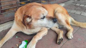 """""""Don Luis Apolo"""": El perro más querido de Osorno que pide y come galletas"""