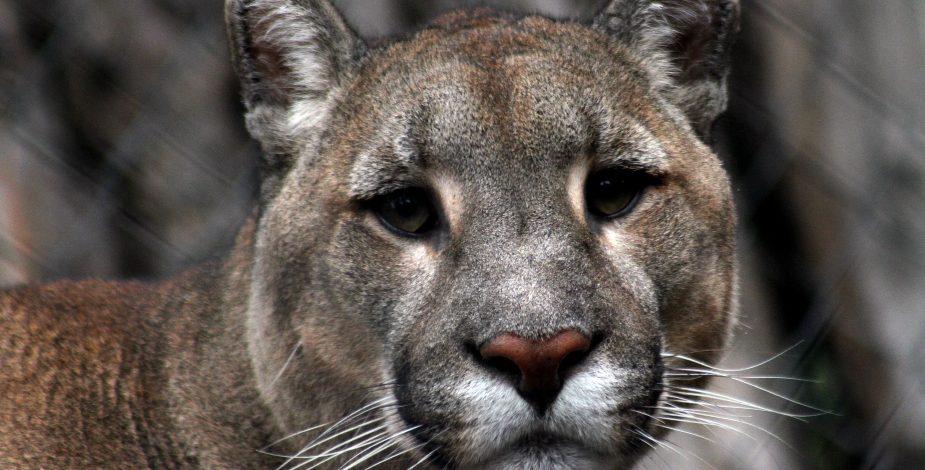 Mujer de 28 años murió tras ser atacada por un puma — Valdivia