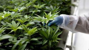 La ONU reconoció las propiedad medicinales de la cannabis y la sacó de la lista de las drogas más peligrosas