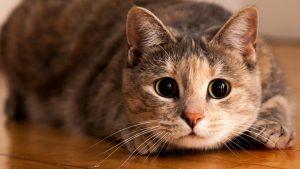 ¿Celos? Gatito se hace viral por la mirada que le lanza a su dueño cuando toca a otro felino