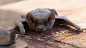 Vecinos denuncian decenas de murciélagos sobrevolando edificios de Las Condes