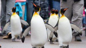 Particular grupo de pingüinos rey se convierte diariamente en parte de los visitantes de zoológico en EE.UU.