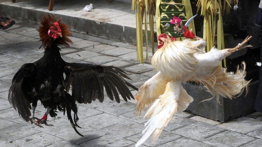 Gallo mata a su dueño de un cuchillazo durante pelea clandestina