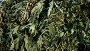 Más de 13 mil ejemplares: decomisan gran plantación de marihuana en la Región de Ñuble