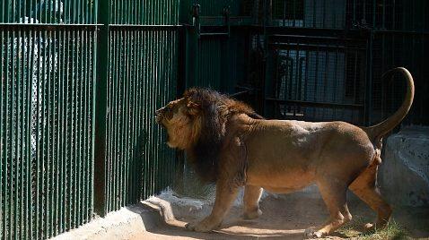 Ocho leones se contagiaron de covid-19 en India: Investigan si fueron infectados por humanos