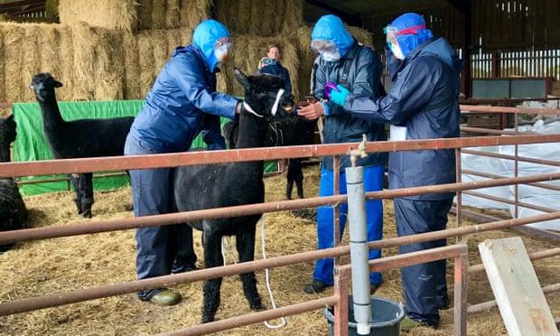 Gerónimo: la alpaca que murió luego que fracasara una extensa batalla legal para salvarla