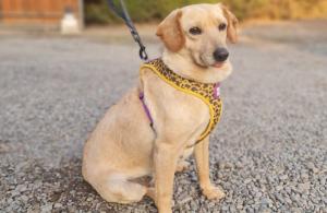 Nadie la quiere adoptar: La perrita que sobrevivió a la sarna y la desnutrición sigue buscando familia